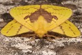 Picture insect, yellow, mol